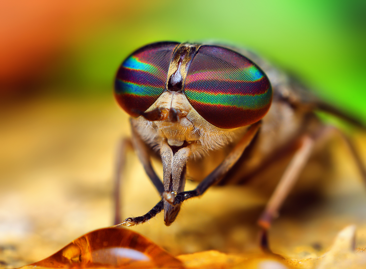 Opo_Terser_-_Female_Tabanus_Horse_Fly_(by)_(1)