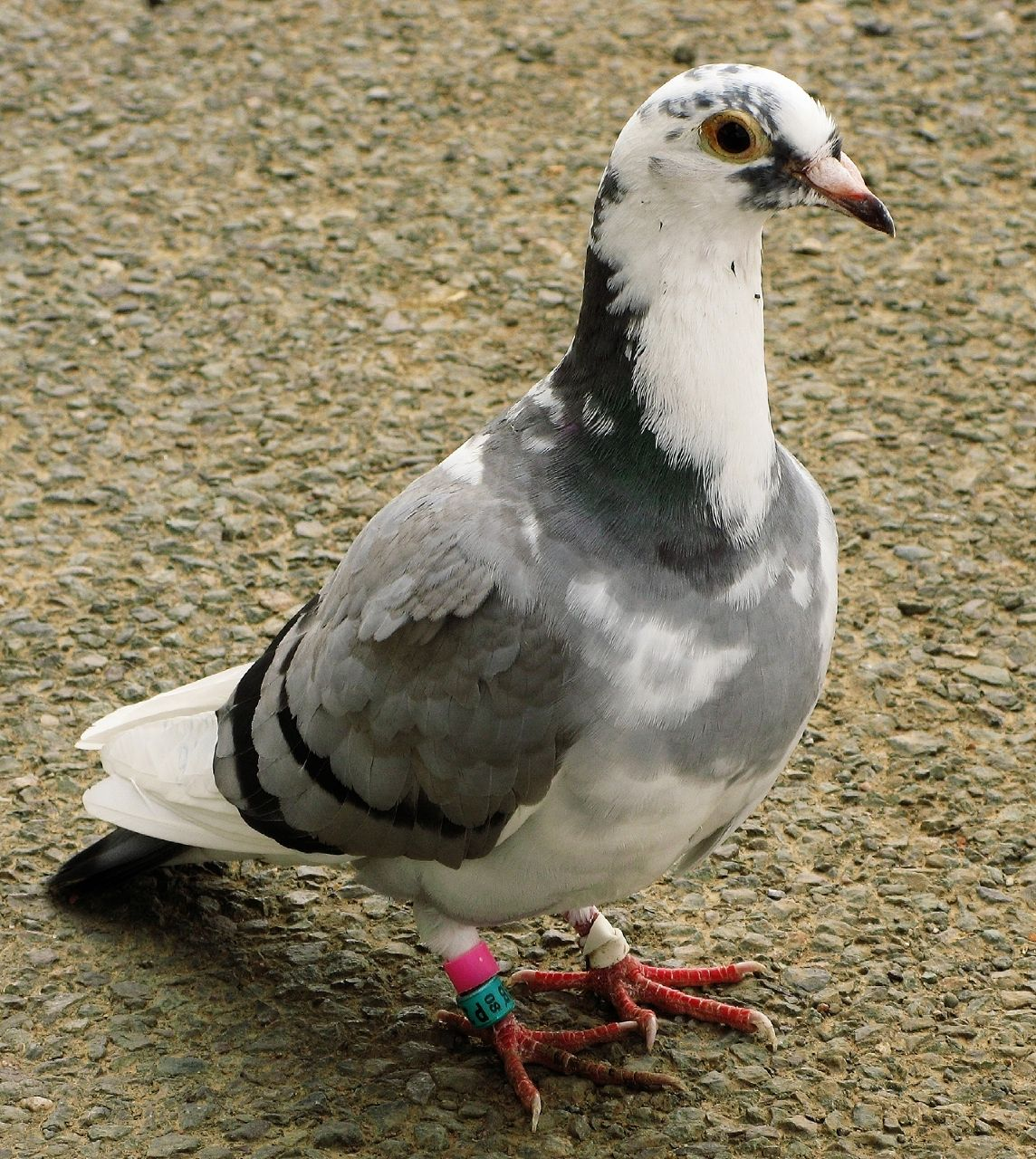 racing_pigeon_rataedl